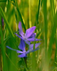 Цветение в апреле / Blossom in april (Владимир-61) Tags: весна апрель природа цветы цветение барвинок spring april nature flower blossom periwinkle sony ilca68 minolta75300