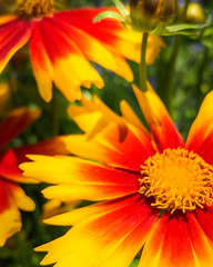 Hello Girl, It's been a while.. (Eduardo Mueses) Tags: flower plant pollen petal red yellow no person summer flowering nature flora orange treasure garden colorful daisy bright standing gazania leaf botany asteraceae barberton fair weather closeup aster growth gerbera vegetation blur