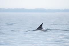 Adulte et petit (Laura Carrier) Tags: grand dauphin tursiops truncatus dolphin common bottlenose al lark bretagne breizh illeetvilaine ille et vilaine mer ocean baby bébé adulte juvénile laura carrier
