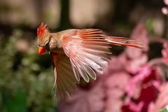 Northern Cardinal (Scriblerus) Tags: northerncardinal femalecardinal cardinalinflight