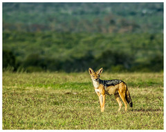 Jackal, Kenya (nickyt739) Tags: jackal nairobi kenya safari africa wildlifenature explore travel amateur photographer nikon d5100 animal wildlife wild nature beautiful planet national geographic masai mara