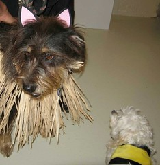 Gus and a bee (Crickett-Grrrl) Tags: dog dogs costumes cairn terrier bee