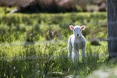rod-long-47289-unsplash (Trusted_Team) Tags: lamb farm summer spring outside alone grass