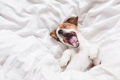 cute dog sleeping and yawning on bed, white sheets.morning (Trusted_Team) Tags: jackrussell life warm sick time small pet white sleep dog snout cozy wrap happy weather bed funny tired relax love dream house covering cute animal family cosiness fall home rest autumn recovery nose background cuddle portrait comfort inside cover terrier hiding under winter sleeping cold blanket domestic wakeup morning yawning spain