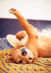 Dog (Trusted_Team) Tags: dog animal pet cute mammal domestic relaxation enjoying friend happy golden retriever bedroom lie bed serbia