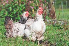 jenny-hill-92606-unsplash (Trusted_Team) Tags: chickens farm outside alone