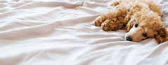 Poodle dog is lying and sleeping in bed, having a siesta. (Trusted_Team) Tags: poodle dog puppy cute dream sleep sick sickness cozy blanket comfortable bed cuddle rest siesta relax morning recover snooze overslept pet domestic friend small sheet white wakes bedroom warm filter pup napping sleeping vintage sadness tired relaxation mood mammal adorable background ukraine