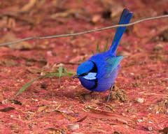 Bright Blue (Jennie Stock) Tags: malurussplendens bridgetown splendidfairywren malebird