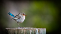 Female Splendid Fairy-wren (Jennie Stock) Tags: splendidfairywren malurussplendens femalebird bridgetown