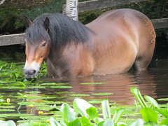 IMG_0717 pony munching water lilly pads (belight7) Tags: burnham beeches uk england exmoor piny pond