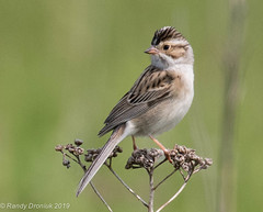 Clay-coloured Sparrow (rdroniuk) Tags: passerines smallbirds birds sparrows claycolouredsparrow spizellapallida oiseaux passereaux bruants bruantdesplaines