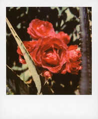 Hollywood Spring - Red Roses (tobysx70) Tags: polaroid originals color 600 instant film slr680 hollywood spring red roses gower street beachwood canyon hills los angeles la california ca rose rosa flower plant petal rosebud rosaceae bokeh toby hancock photography