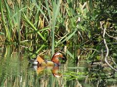 IMG_0696 (belight7) Tags: mandarin burnham beeches uk nature england pond