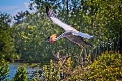 Flight of the Grey Crowned-crane (Sera69) Tags: oiseaux parc dombes rhônealpes ain ciel ailes plumes nature animaux vol vole volant