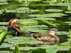 IMG_0695 mr and mrs (belight7) Tags: mandarins burnham beeches uk nature england pond