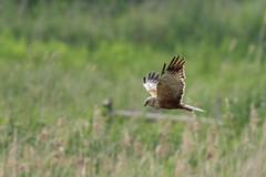 Marsh Harrier (Circus aeruginosus) (Baldyal) Tags: bird bif raptor rspb reed marsh wildlife sky sommerset