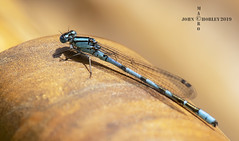 Common Blue Damselfly (John Chorley) Tags: damselfly blue commonbluedamselfly nature wildlife macro macros macrophotography closeup closeups johnchorley outdoors 2019