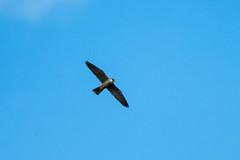 Hobby (Falco subbuteo) (Baldyal) Tags: bird bif wildlife raptor rspb hamwall sky sommerset