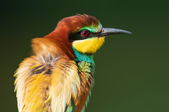 Merops apiaster (marypink) Tags: gruccione meropsapiaster europeanbeeeater aves coraciiformes meropidae merops nikond500 nikkor200500mmf56