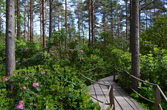"""Promised You a Rose Garden"" (Seppo53) Tags: park tree flowers summer helsinki finland noon flora deckedpath sky sunny rhododendrons forest"