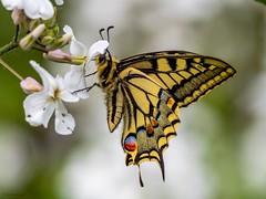 Swallowtail (kc02photos) Tags: swallowtail strumpshaw norfolk england uk butterflyphotography