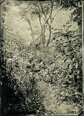 The Path (Blurmageddon) Tags: senecaimprovedview 5x7 wetplatecollodion epsonv700 alternativeprocess newguycollodion newguynegativecollodion tintype alumitype osaka120mmf63 nature landscape potassiumnitrate kno3 malibu california