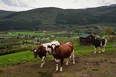 """ melkespreng "".... (KvikneFoto) Tags: landskap norge hedmark kvikne yset tamron nikon ku cow storfe cattle livestock"