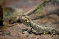 Thorny guy (Rico the noob) Tags: dof bokeh d850 nature germany 70200mmf28 reptile animal published 2018 closeup 70200mm zoo eye stuttgart indoor animals