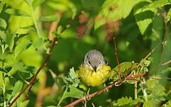 Paruline à tête cendrée / Magnolia Warbler (alainmaire71) Tags: oiseau bird parulidae parulidés dendroicamagnolia parulineàtêtecendrée magnoliawarbler paruline warbler nature quebec canada
