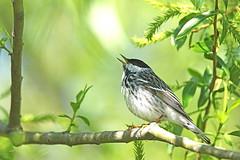 Paruline rayée / Blackpoll Warbler (alainmaire71) Tags: oiseau bird parulidae parulidés dendroicastriata parulinberayée blackpollwarbler paruline warbler nature quebec canada