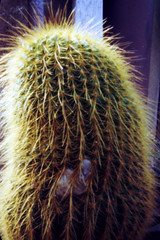 cactus (Pinhole Auloma) Tags: pinhole sténopé auloma attaphoto lochkamera estenopeica estenopo stenopeica cactus nature closeup analog analogic film 135 camera obscura kodak lensless color