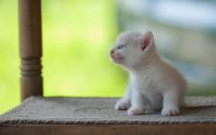 K III (01) (Vlado Ferenčić) Tags: kitty kittens kittysuperstar catsdogs cats animals animalplanet nikond90 sigma15028macro croatia zagorje hrvatska klenovnik