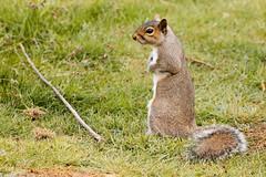 Squidge (Airwolfhound) Tags: squirrel squidge rspb sandy bedfordshire cute wildlife