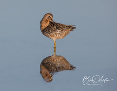 Short-Billed Dowitcher (Barb D'Arpino Photography) Tags: nature wildlife outdoors spring barbaralynne copyrightbarbdarpino barbaralynnedarpino barbdeardendarpino canon1dx eos1dx florida usa northamerica naturephotographer femalephotographer wasagabeachphotographer wildlifephotographer shortbilleddowitcher