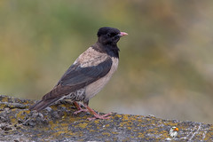 Rosy Starling (Simon Stobart) Tags: rosy starling pastor roseus north east england uk