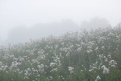 Salabacke, August 22, 2015 (Ulf Bodin) Tags: salabackar summer canonef85mmf12liiusm salabacke canoneos5dmarkiii thistle mist cirsium sweden outdoor tistel dimma uppsala uppsalalän sverige