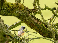 Male Redstart | Malham Cove (Pendlelives) Tags: male redstart red start chest orange vibrant beautiful yorkshire england colours malham cove tarn trees woodland wood green yellow grass tourism bird birds wildlife nature countryside nikon p1000 pendlelives