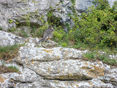 Peregrine | Malham Cove (Pendlelives) Tags: yorkshire england vibrant colours malham cove tarn trees woodland wood green yellow grass tourism bird birds wildlife nature countryside nikon p1000 pendlelives hawk falcon peregrine cliffs distant