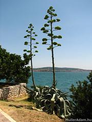 Aloe (MullerAdam_hu) Tags: kirándulás természet nyár nyaralás vízesés növény horvát horvátország trogir aloe canonpowershots2is 2008 trip nature summer holiday vacation waterfall plant croatian croatia