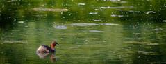 Little Grebe (pootlepod) Tags: canon 7dmkii wildlife waterfowl tufted ducks tuftedduck heron wading portrait little grebe littlegrebe dabchick signets swans juvenile nature natural feather fluff bill beak swimming running undergrowth raw rspb
