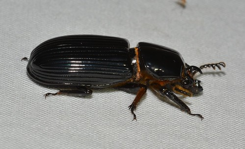 Odontotaenius disjunctus - Horned Passalus (thanks to Cassie Brindza and Andre Poremski)