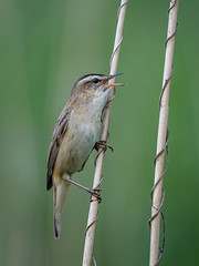 Sedge warbler (JS_71) Tags: nature wildlife nikon photography outdoor 500mm bird new spring see natur pose moment outside animal flickr colour poland sunshine beak feather nikkor d500 wildbirds planet global national wing eye watcher