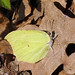 Gonepteryx rhamni ♂ - Common brimstone (male) - Лимонница (самец)