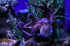 I look at you (Amy Charlize) Tags: amycharlize focosocial amazing awesome underwater water octopus