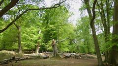 New Forest NP, Hampshire, UK (east med wanderer) Tags: england hampshire uk newforestnationalpark nationalpark oak beech spring markashwood lyndhurst