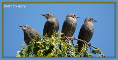 Young starlings (maryimackins) Tags: starlings wildlife kent mary mackins