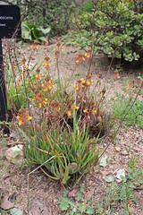 Bulbine frutescens (L.) Willd. - BG Barcelona
