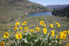 Patterson Lake Balsamroot (Katelynn Manz) Tags: washington wa usa wander hiking clouds montanas montanges pacific northwest pnw nature balsamroot arrowleaf sunflowers sun flowers patterson lake winthrop twisp methow valley balsamorhiza wild wildflowers mountain cascade cascades