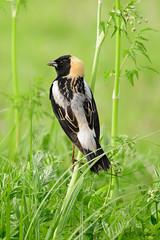 Bobolink (male) (PerfumeG2011 (on and off )) Tags: birds bobolink male nature boucherville bouchervillequébeccanada