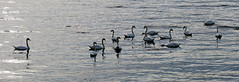Assembly by my skerry (Odd Roar Aalborg) Tags: group assembly sea garvika fjellskålnes osterfjorden swan ripples flock